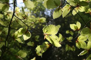 Young beech leaves: Young beech (Fagus) leaves backlit by strong sunlight.