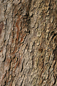 Horse chestnut bark: Bark of a horse chestnut (Aesculus hippocastanum) tree in West Sussex, England.