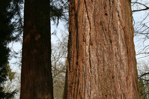 Redwood: Trunks of redwood (Sequoia) trees in an arboretum in England.