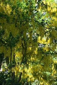 Laburnum: Part of an avenue of flowering laburnum trees in Kent, England, in summer.