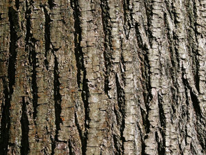 Sweet chestnut bark: Bark of a sweet chestnut (Castanea) tree in West Sussex, England.