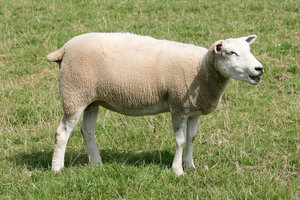 Sheep: Sheep in West Sussex, England.