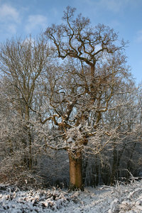 Snowy oak: A snowy oak (Quercus) tree on the edge of woodland in a park in West Sussex, England.
