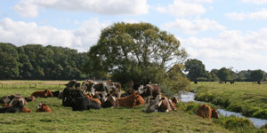 Arcadia: Cows enjoying a summer afternoon's rest in West Sussex, England.