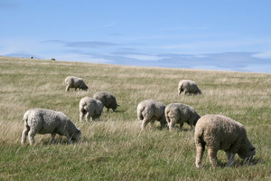 Grazing: Sheep on the South Downs, West Sussex, England.