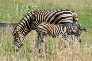 Zebra and foal: A zebra and foal grazing in a field in a zoo in England.