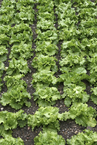 Green lettuces: Lettuces in a kitchen garden in southwest England in spring.