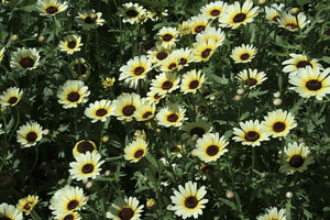 Dark-eyed flowers: A carpet of dark-eyed daisy-like flowers in a garden in England.