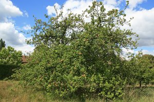 English apple tree: An apple tree in Kent, England.