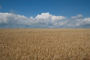 Ripe barley: A ripe crop of barley (Hordeum) on the South Downs, West Sussex, England.
