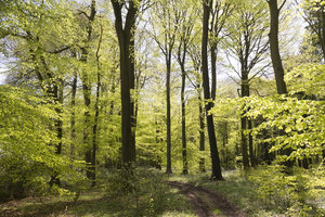 Spring woodland: Spring woodland in southern England.