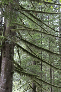 Mossy branches: Mossy branches of a conifer in temperate rainforest close to the western Canada/USA border.