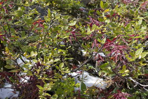 Mountain foliage in autumn: Montane foliage and scattered snow in autumn in the Rockies, Canada.