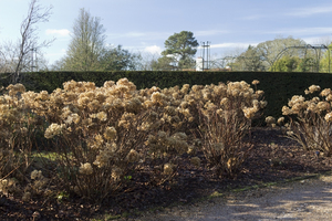 Winter foliage: Dry finished hydrangea flowerheads in a garden in West Sussex, England, in winter.