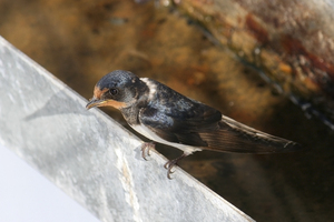Swallow: A barn swallow (Hirundo rustica) resting on a gutter pipe on a house in southern Spain.