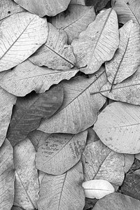 Magnolia leaf texture B/W: Fallen leaves from a magnolia tree in autumn.