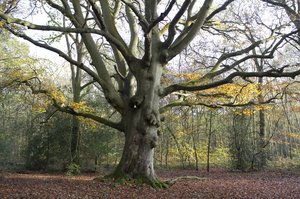 Ancient beech tree: An ancient beech (Fagus) tree in a forest in West Sussex, England.