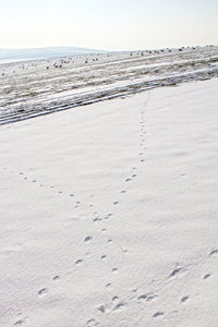 Sheep, footprints and snow: Wandering sheep and their footprints in snow on the South Downs, West Sussex, England.