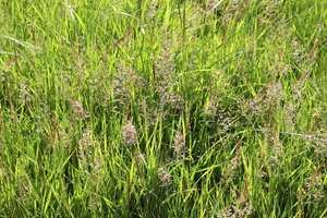 Meadow grasses in flower: Meadow grasses in flower in Sussex, England, in summer.