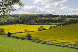 Farm crops in spring: Farmland with crops of oilseed rape in Oxfordshire, England, in spring.