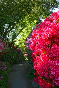 Rhododendron Hecke: