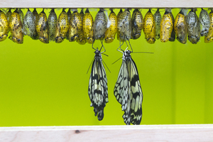 Fresh butterflies: Idea butterflies freshly emerged from their chrysalises and still busy expanding and drying their wings.