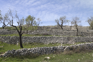 Olive tree terraces: Old olive tree terraces with stone retaining walls in Puglia, Italy, in spring.