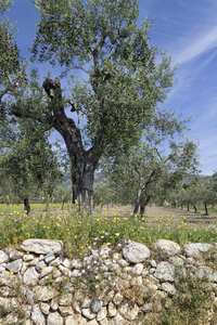 Old walled orchard: An old walled olive orchard in southern Italy.
