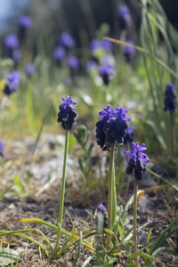 Wild grape hyacinths: Wild grape hyacinths (Muscari) in southern Italy in spring.