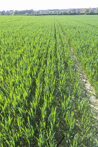 Wheat crop in spring: A young crop of wheat in West Sussex, England, in spring.