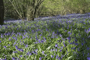 Spring woodland flowers: Bluebells (Hyacinthoides non-scripta) in woodland in West Sussex, England, in spring.