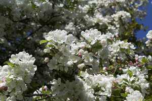Spring blossom: Apple (Malus) blossom in spring in West Sussex, England.