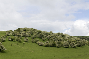 Green meadow: A green meadow with hawthorn (Crataegus) bushes in flower on the South Downs, East Sussex, England, in spring.