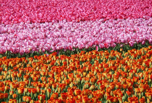Tulip fields: Tulip fields in the Netherlands.