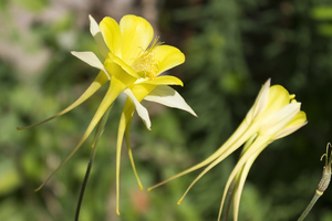 Aquilegia flowers: A long-spurred yellow Aquilegia cultivar flowering in a garden in England.