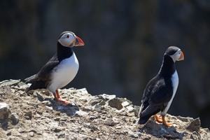 Puffins: Puffins (Fratercula arctica) on a cliff top on Skomer Island, Pembrokeshire, Wales.