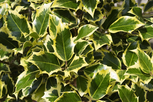 Holly background: Variegated holly (Ilex) leaves in a garden in England.