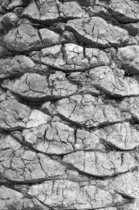 Palm bark texture B/W: B/W of bark of a palm tree in Israel.