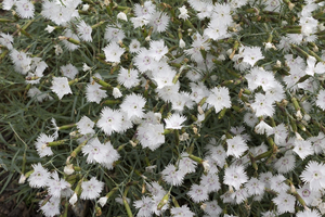 Frilly white flowers: An ornamental Dianthus cultivar growing in a garden in England.