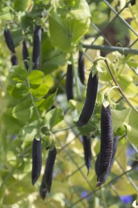 Black bean pods: Black bean pods in a garden in Wiltshire, England.