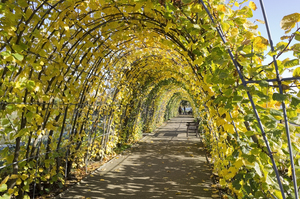 Autumn pergola: A lime tree (Tilia) pergola in a park garden in London, England.
