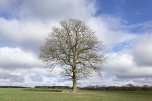 Lone tree: A lone oak (Quercus) tree in West Sussex, England, in winter.