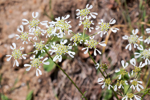 Wild flowers: Wild umbellifer flowers in southern Greece in spring.