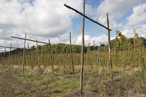 Hops: A field of hops (Humulus lupulus) growing on pole and wire frames on a farm in Surrey, England.