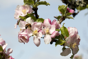 Apple blossom and honeybee: Apple blossom in an orchard in Cornwall, England.