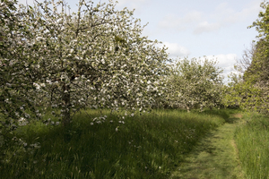 Apple orchard: An orchard of apple trees in Cornwall, England.