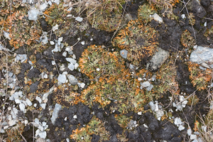 High altitude plants: Low-growing plants (mainly lichens) growing on a high plateau immediately following the retreat of snow cover in Norway.