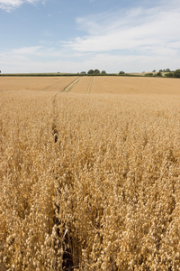 Oats crop: A ripening crop of oats (Avena sativa) in Devon, England.