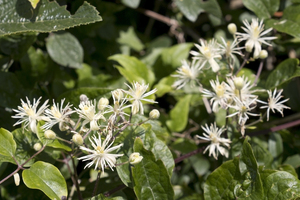 Wild clematis flowers: Flowers of Clematis vitalba (= Traveller's Joy, Old Man's Beard) on the South Downs, East Sussex, England.