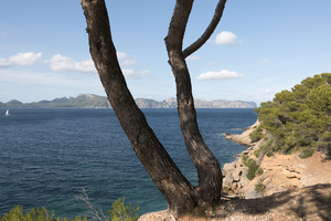 Coastline with conifers: Conifer forest by the coast in Majorca, Balearic Islands, Spain.